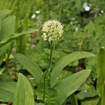 flora fauna photos aus europas pflanzen und tierwelt allermannsharnisch. Black Bedroom Furniture Sets. Home Design Ideas